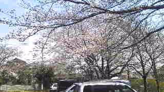 七分桜.jpg