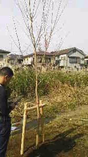 桜植樹5.jpg