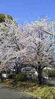桜満開.jpg