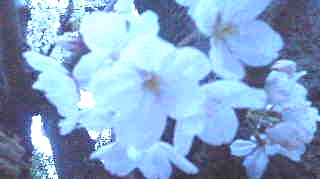13花見2.jpg